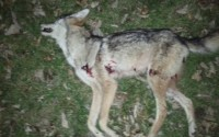 Long shot on a coyote